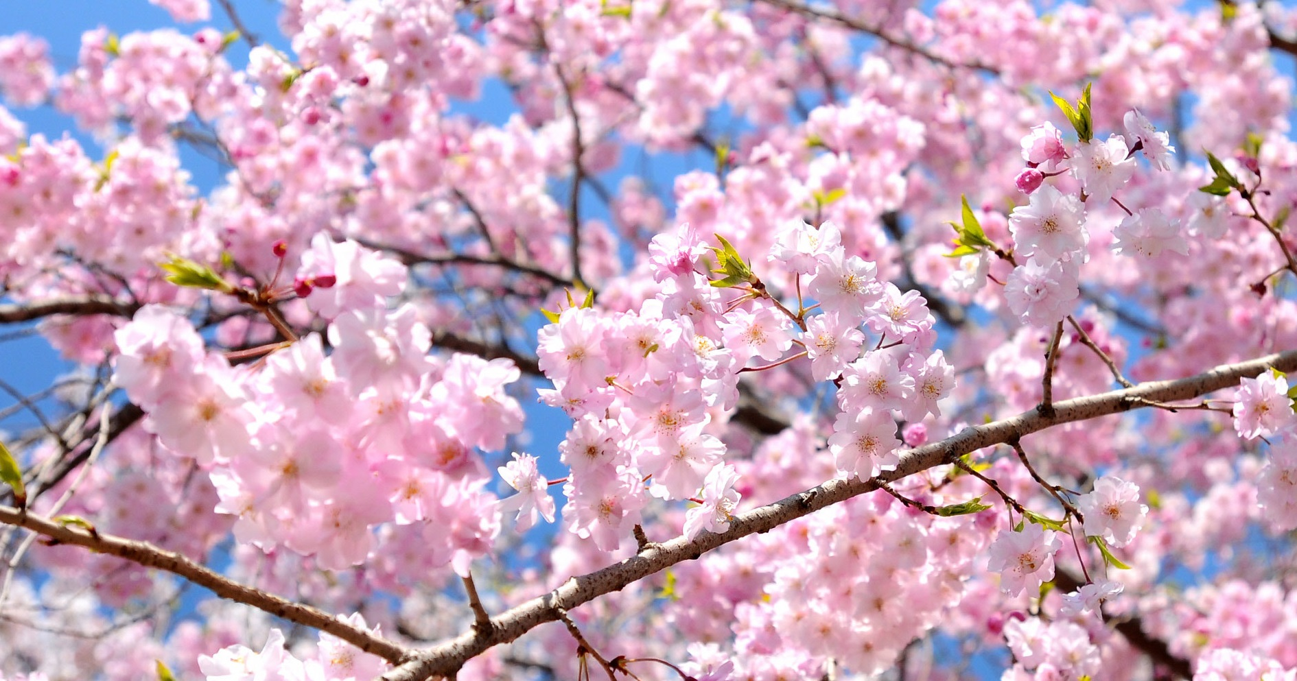 anime sakura cherry blossoms hanami season